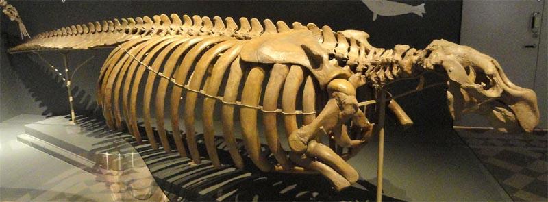 Steller's sea cow bone